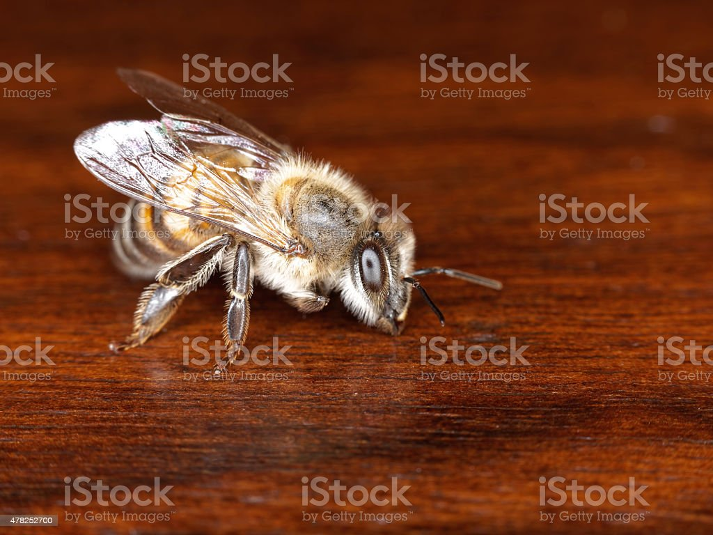 Close-up of a Honey bee standing still. stock photo