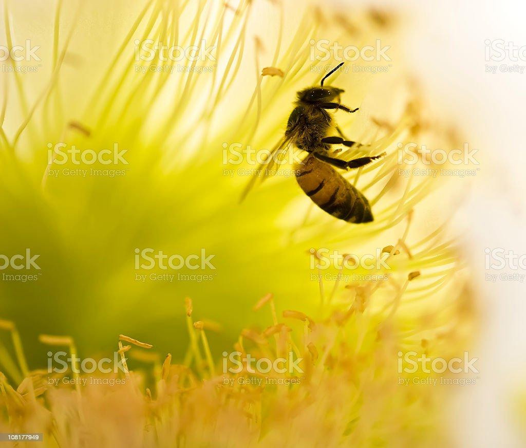 Close-up of a honeybee collecting pollen from a flower royalty-free stock photo
