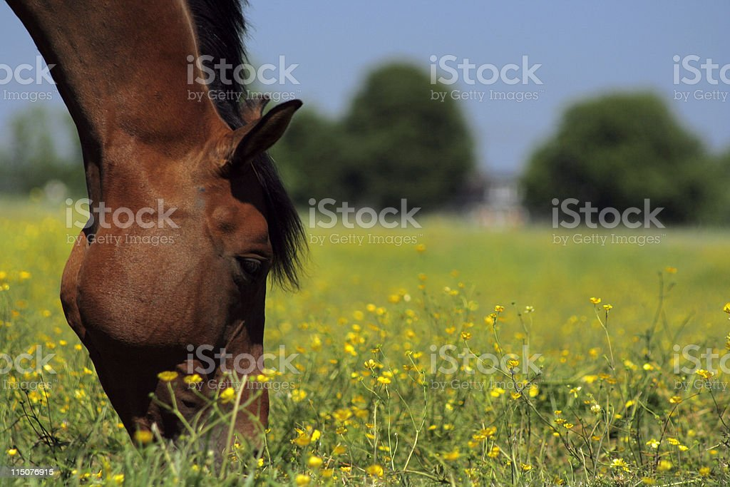 Closeup of a horses head grazing in a meadow stock photo