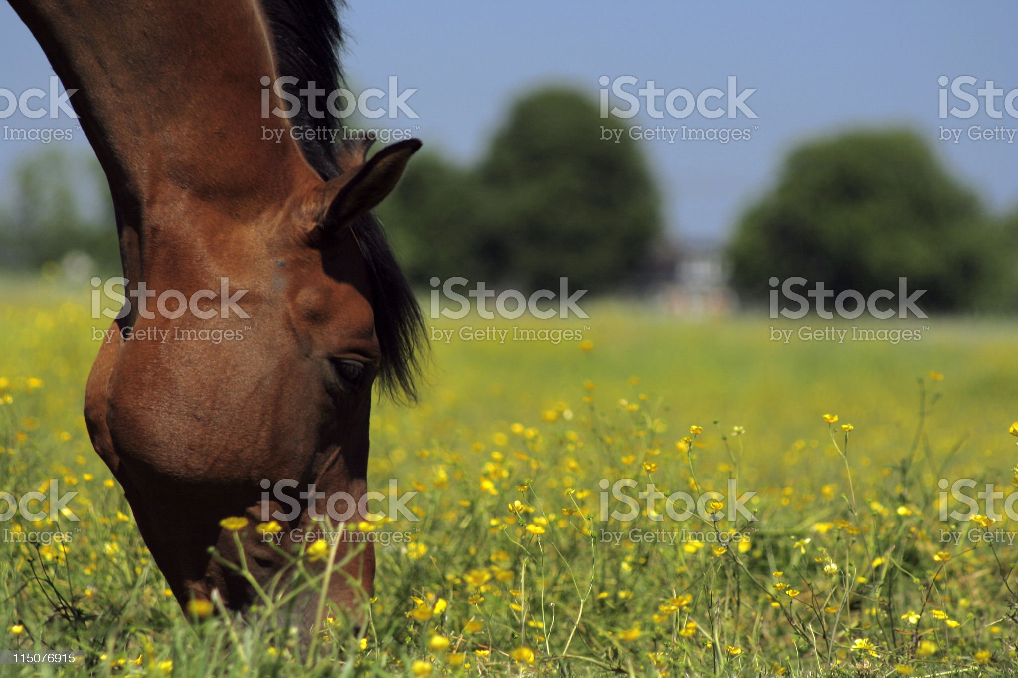 Closeup of a horses head grazing in a meadow royalty-free stock photo
