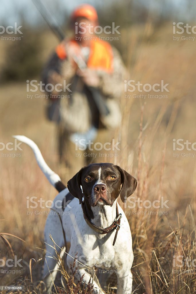 Close-up of a hunting dog in grassy field, hunter behind it stock photo