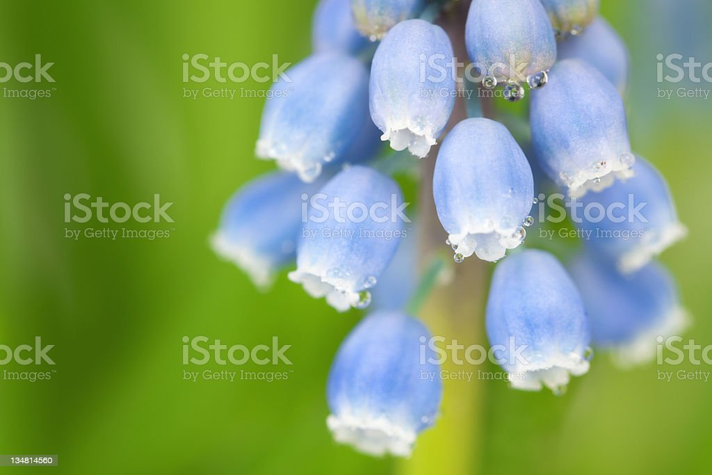 Close-up of a Hyacinth stock photo
