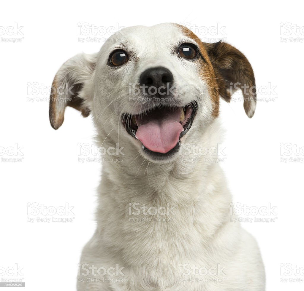 Close-up of a Jack Russell Terrier panting, 6 years old stock photo