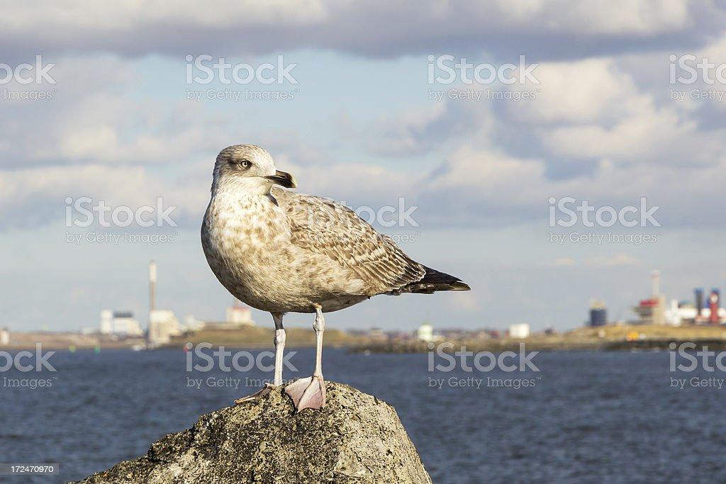 Close-up of a juvenile seagull near IJmuiden. royalty-free stock photo