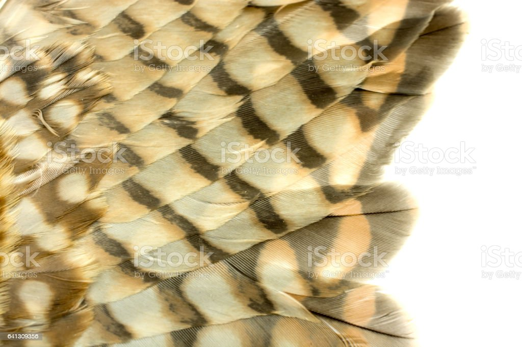 Close-up of a Kestrel's, Sparrow Hawk, wing feathers- male stock photo