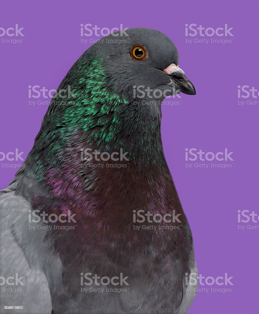 Close-up of a King pigeon against purple background stock photo