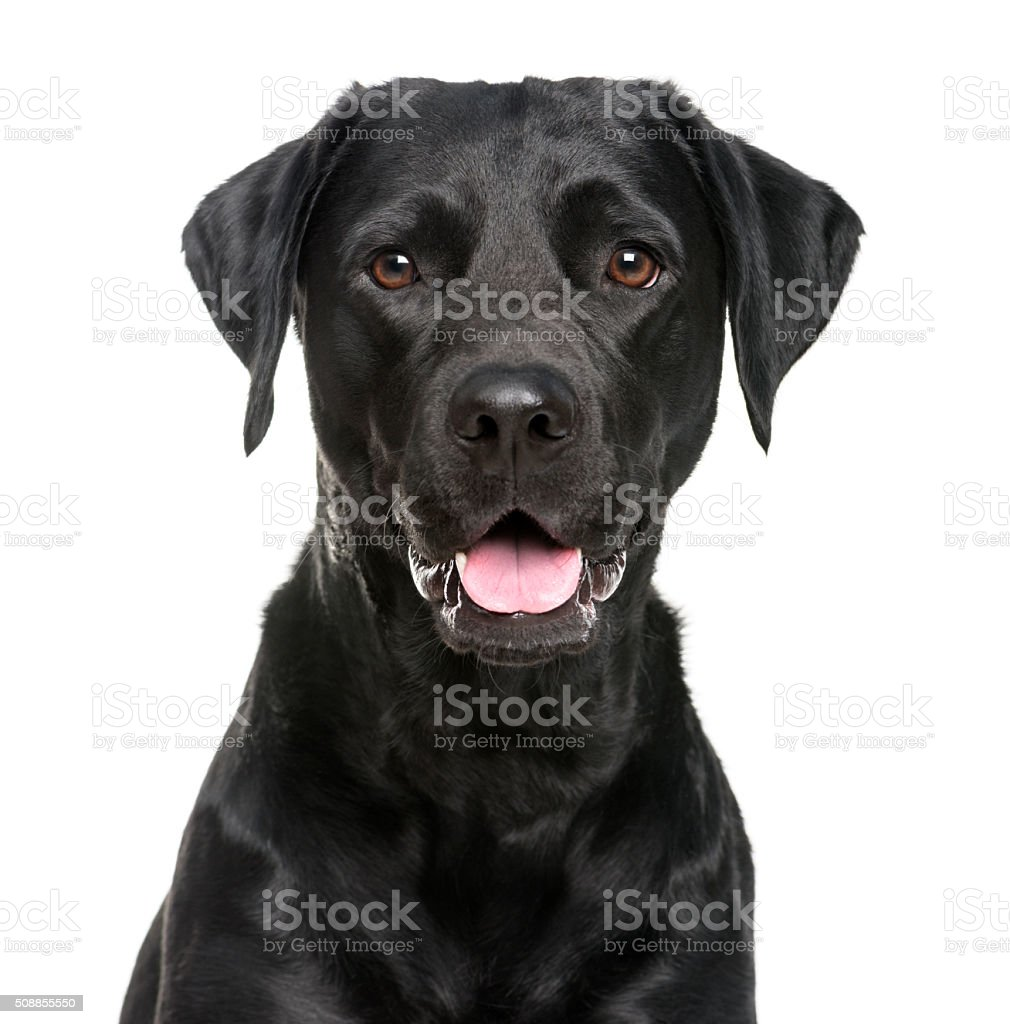 Close-up of a Labrador in front of a white background stock photo