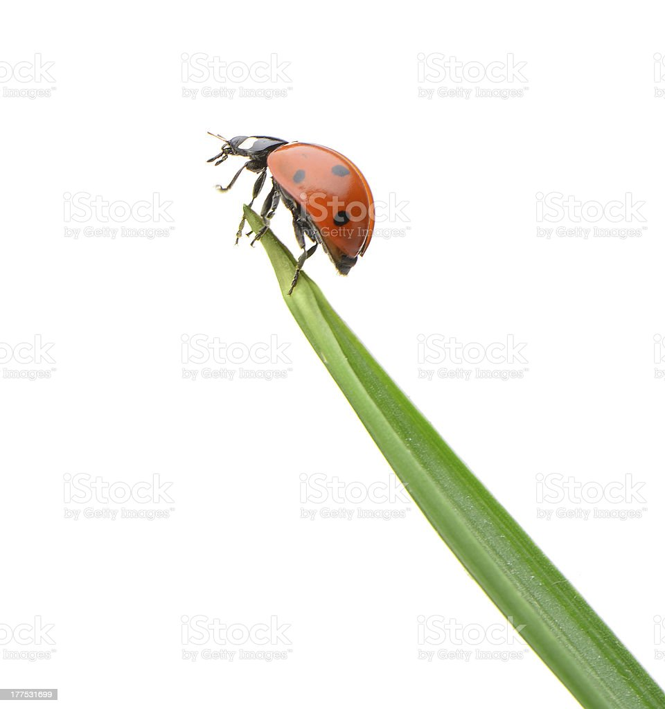 Closeup of a ladybug on a green blade of grass on white stock photo