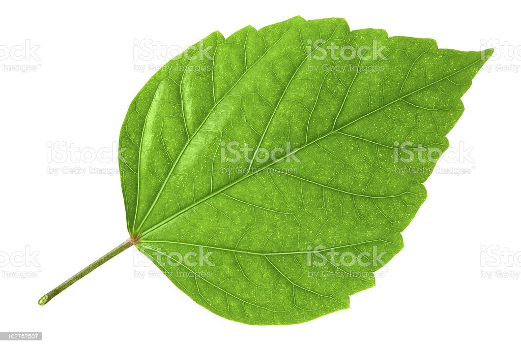 Close-up of a large bright green leaf isolated on white royalty-free stock photo