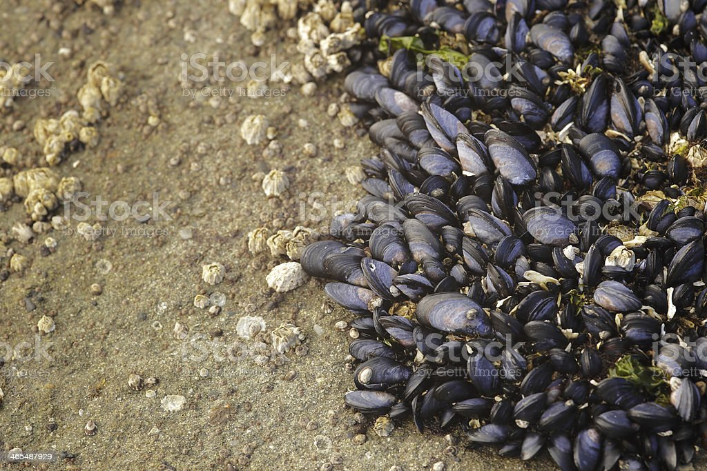 Closeup of a large pile of mussels laying on a rocky beach. stock photo
