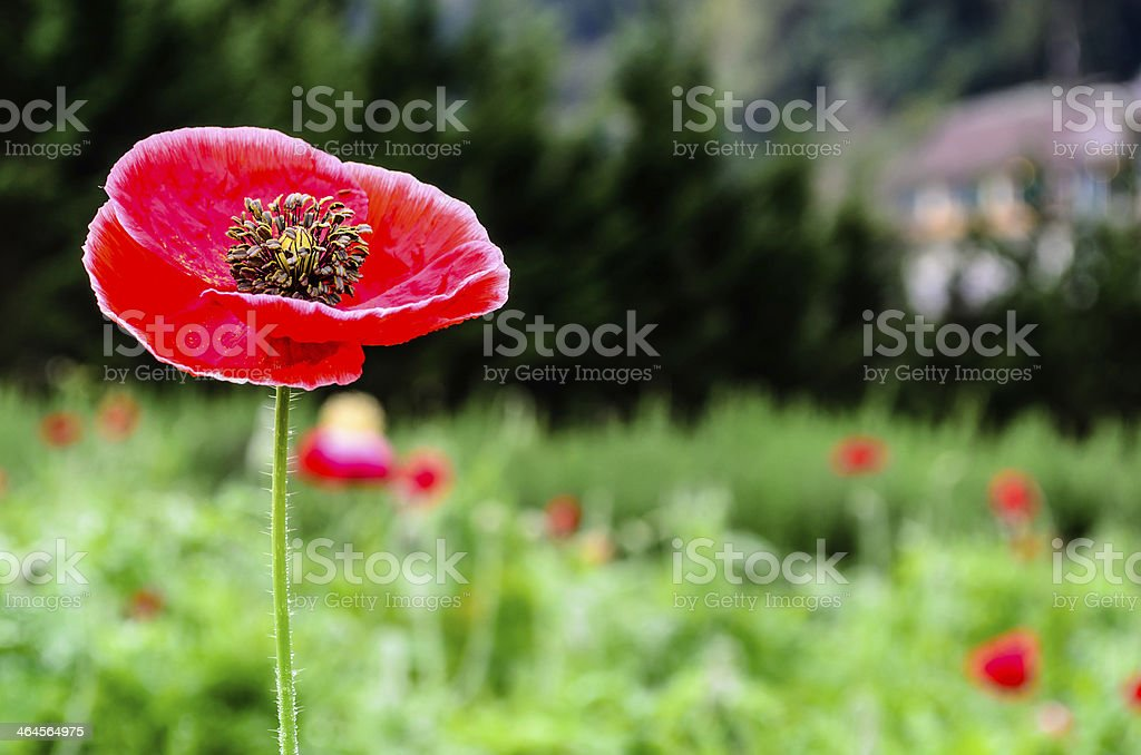 Closeup of a large red  Papaver somniferum L stock photo