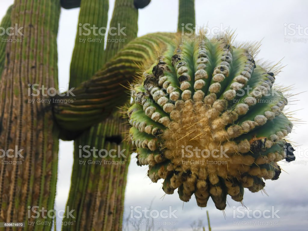 Close-up of a large Saguaro Cactus in the Sonora Desert stock photo