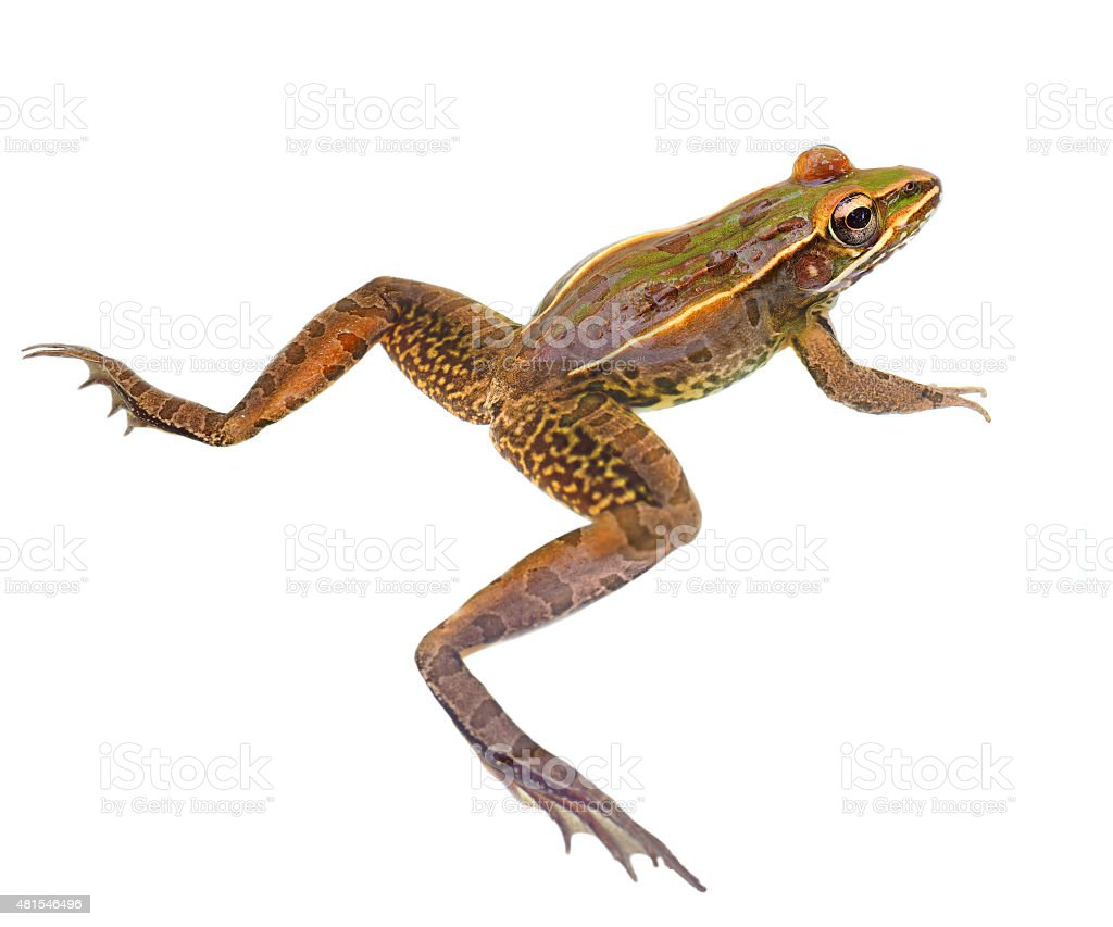 Closeup of a Leopard Frog Isolated on White stock photo