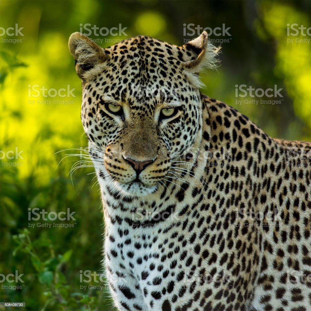 Close-up of a Leopard, Serengeti, Tanzania stock photo