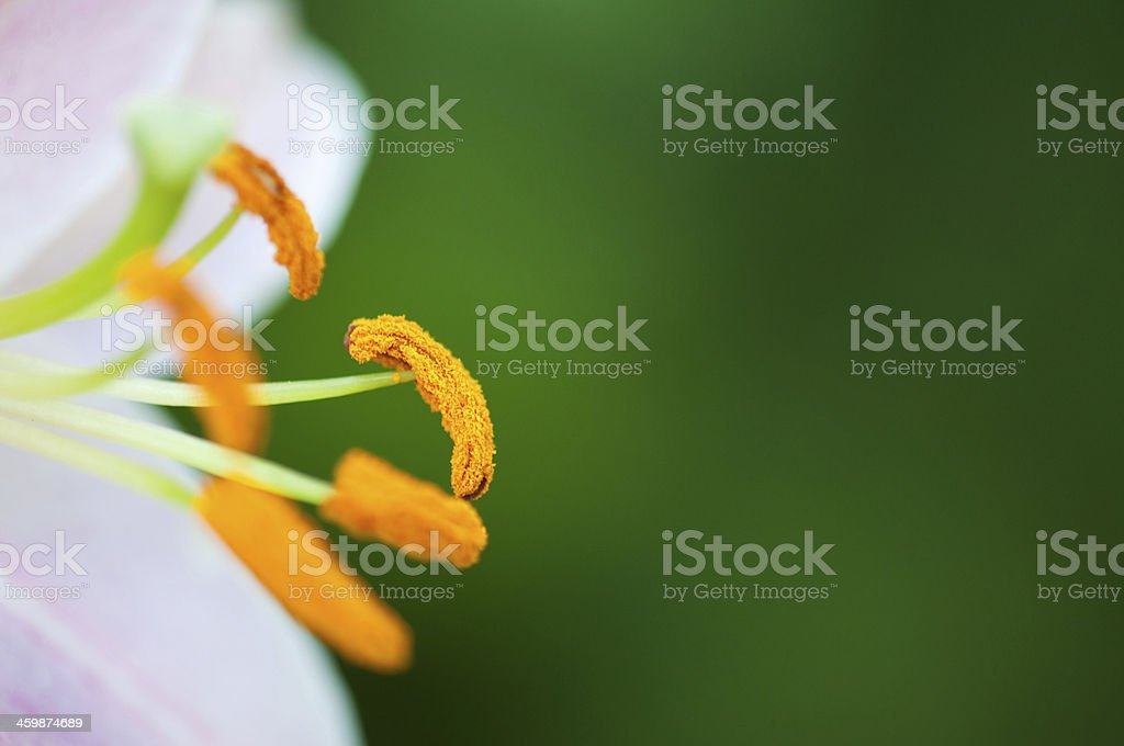 closeup of a lily stock photo