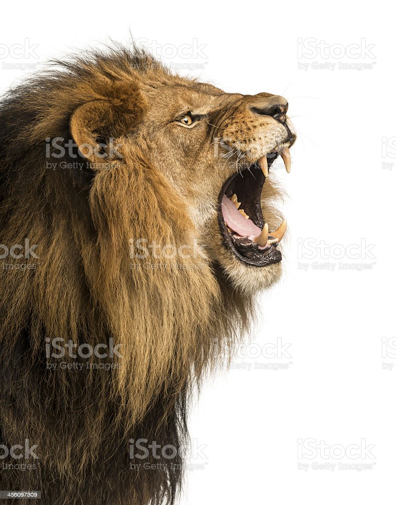 Close-up of a Lion roaring, isolated on white stock photo