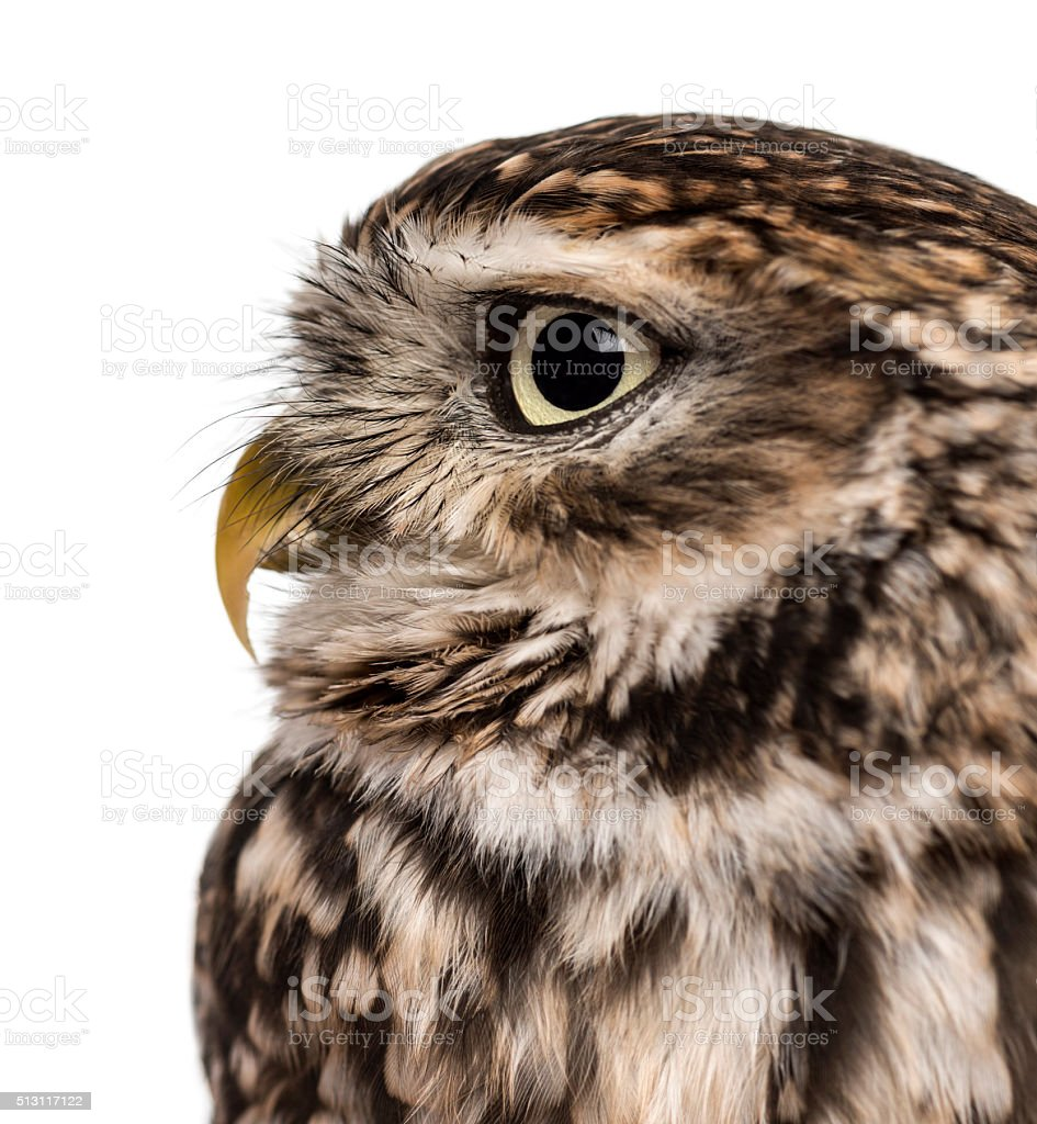 Close-up of a Little owl (Athene noctua) stock photo