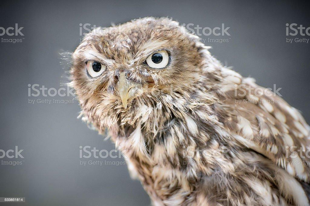 Closeup of a little owl stock photo