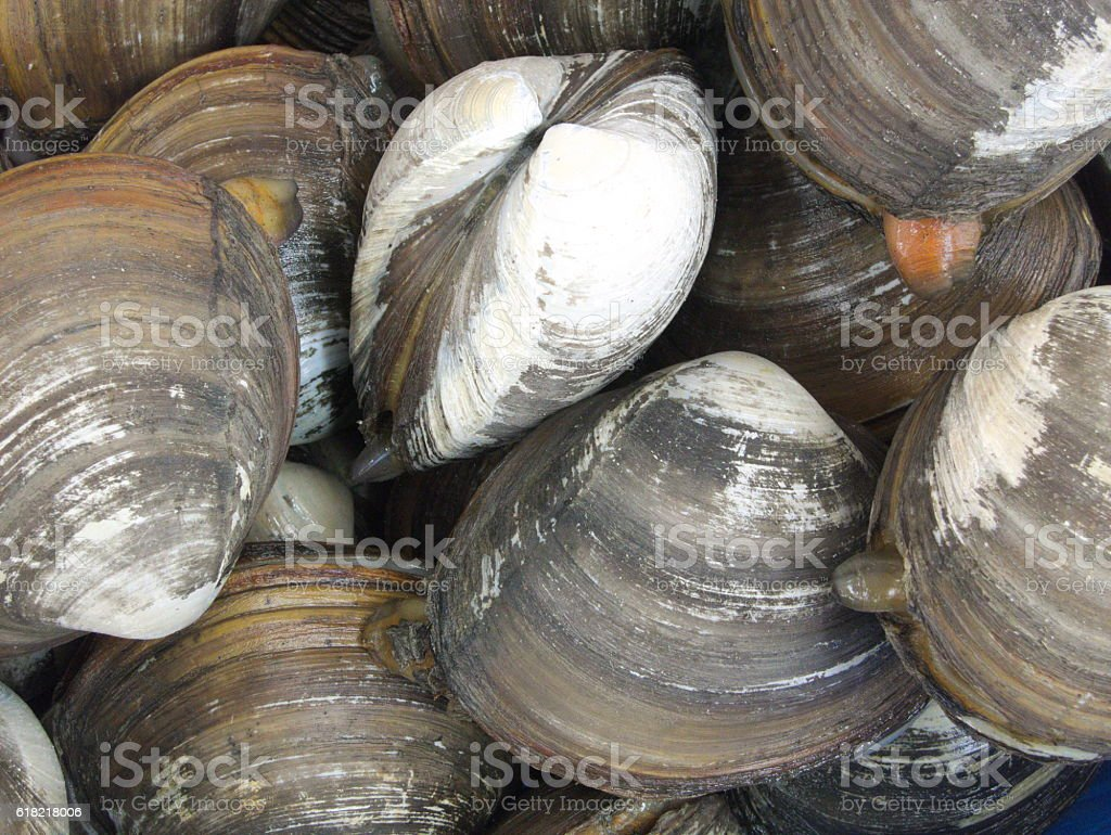 Close-up of a live closed clamshells stock photo