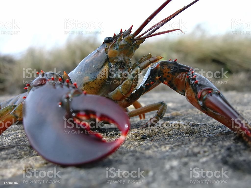 Close-up of a lobster on a rocky surface royalty-free stock photo