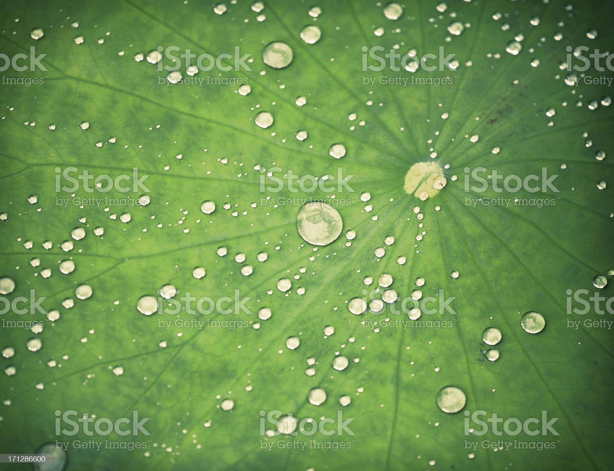 Close-up of a Lotus leaf with water drops royalty-free stock photo