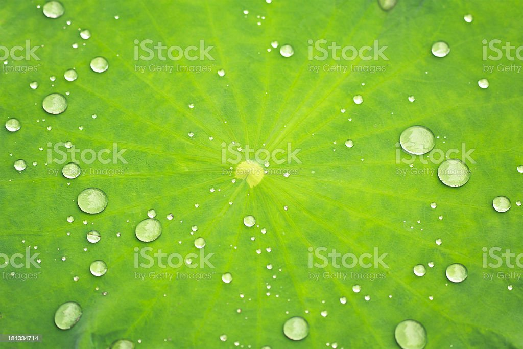 Close-up of a Lotus leaf with water drops stock photo