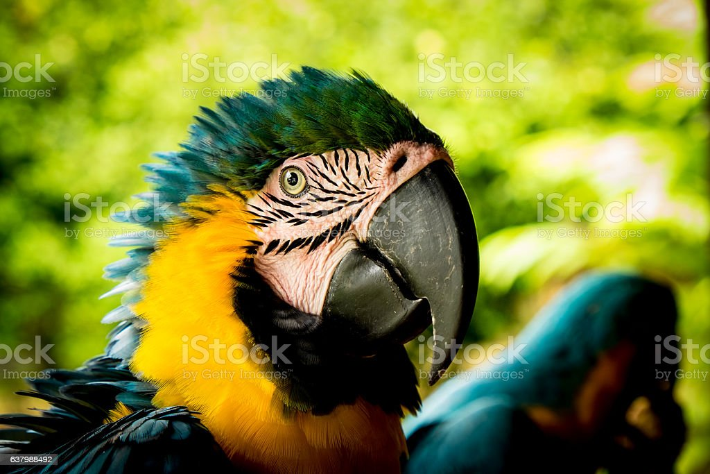 Close-up of a Macaw parrot in the wild stock photo