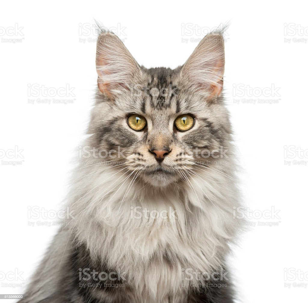 Close-up of a Maine Coon stock photo