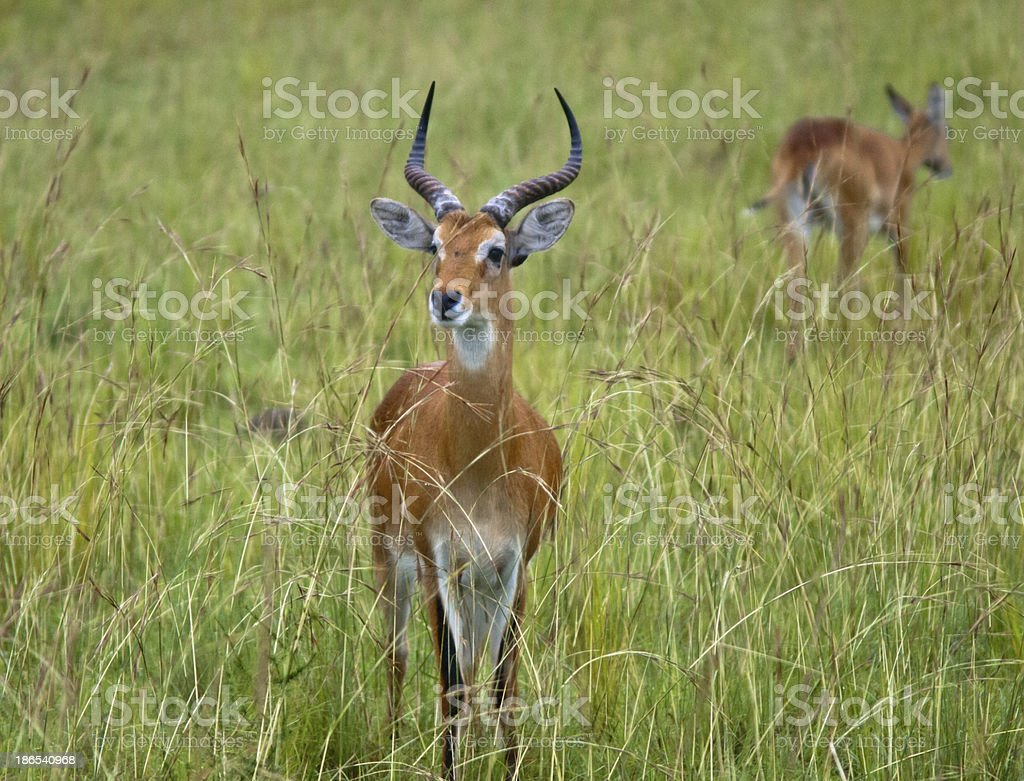 Close-up of a male antelope stock photo