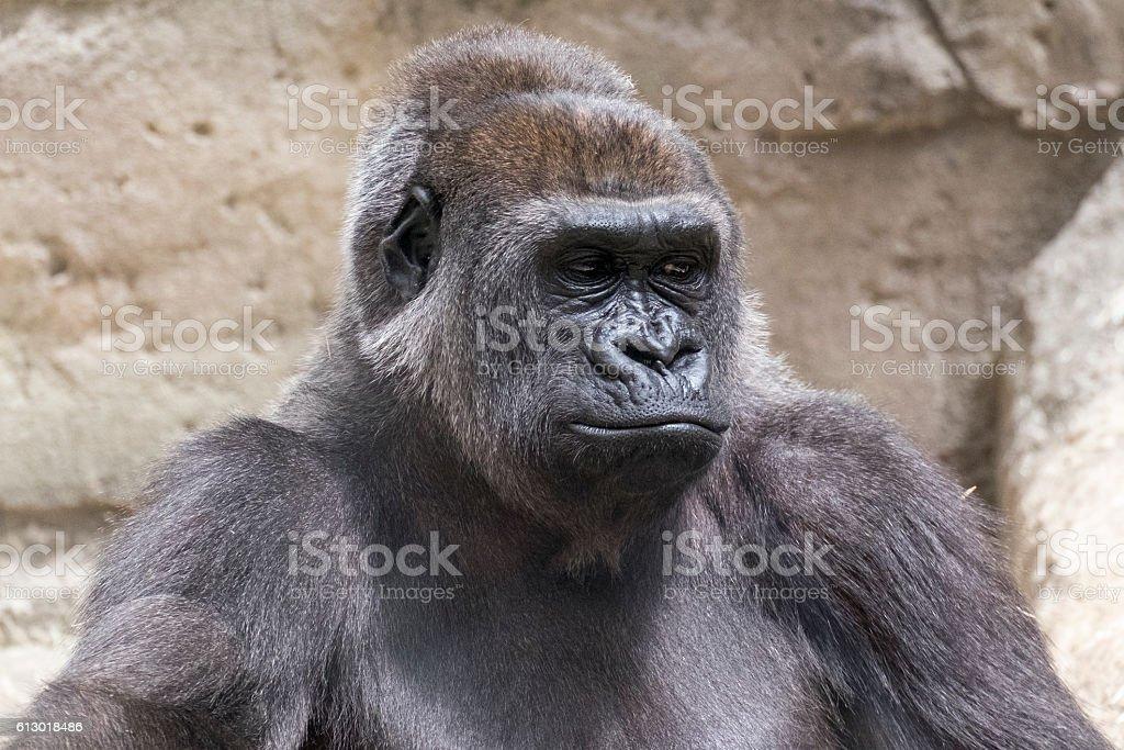 close-up of a male silverback gorilla stock photo