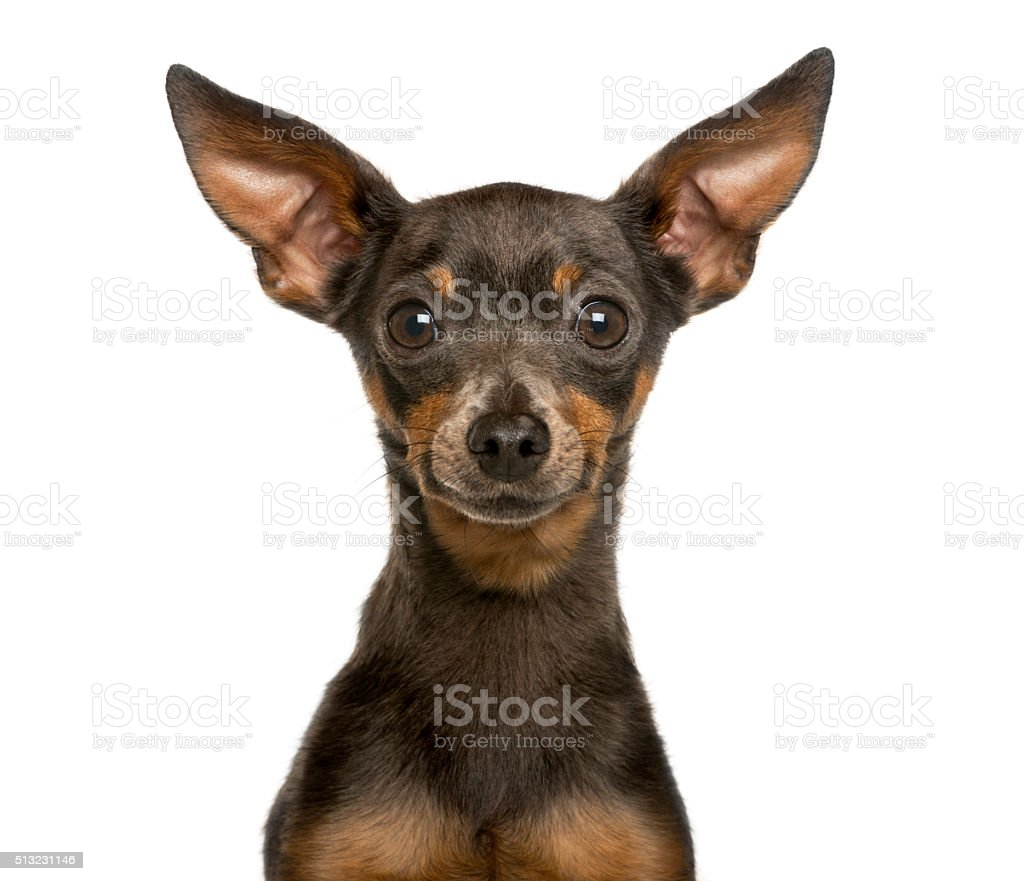 Close-up of a Miniature Pinscher in front of white background stock photo