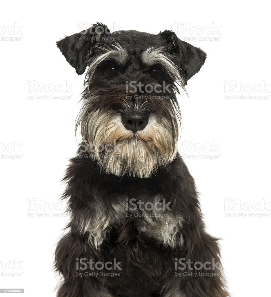 Close-up of a Miniature Schnauzer looking at the camera stock photo