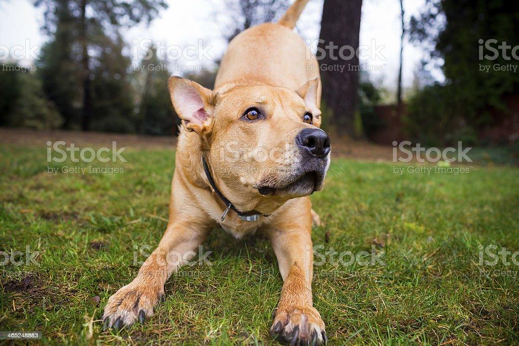 Close-up of a mixed breed pitbull dog playing outside stock photo