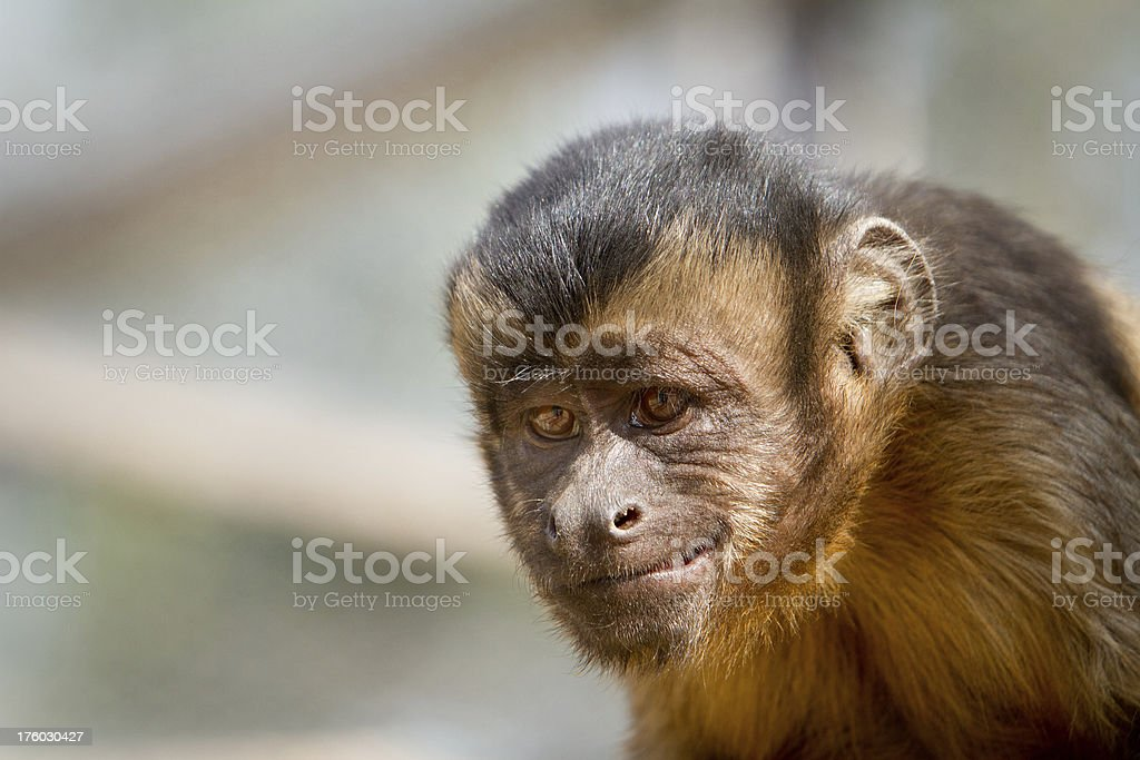 Close-up of a monkey smiling with  devious look stock photo