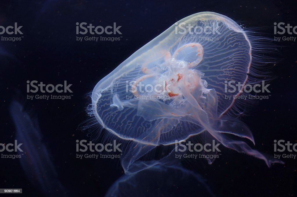 A closeup of a moon jellyfish in a dark ocean stock photo