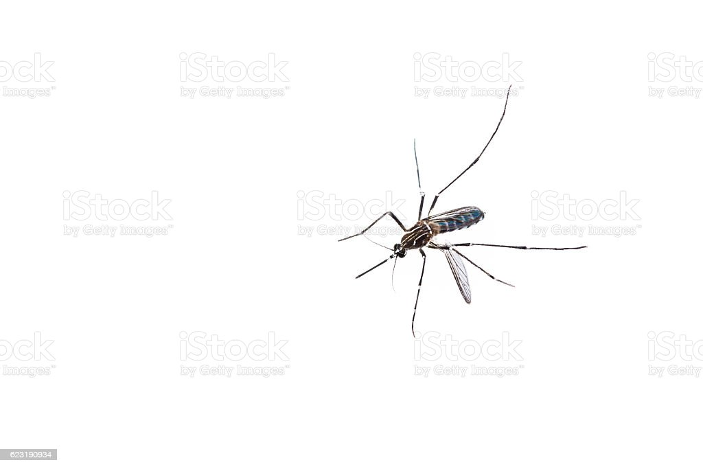 close-up of a Mosquito on isolated background stock photo