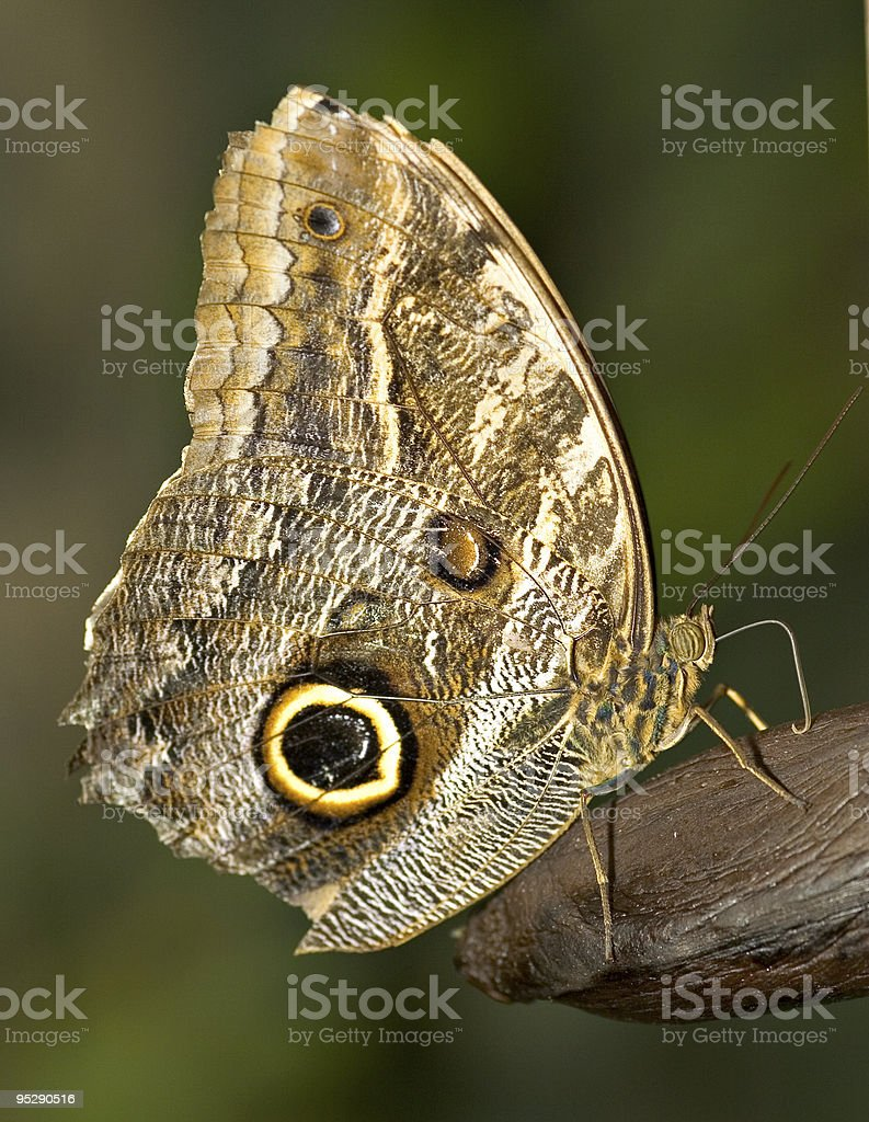 Close-Up of a Mournful Owl Butterfly (Caligo Eurilochus) stock photo