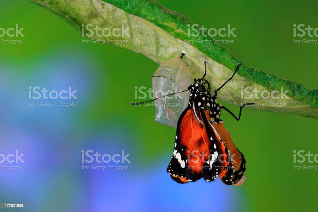 Close-up of a newly formed butterfly emerging from cocoon stock photo