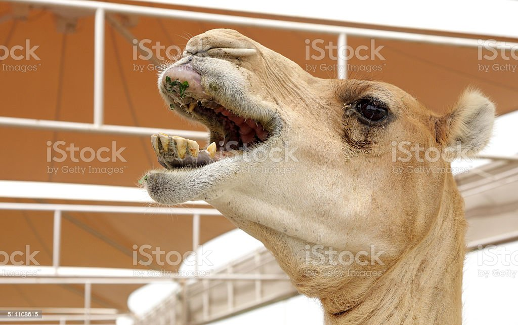 Closeup of a nuzzling camel stock photo