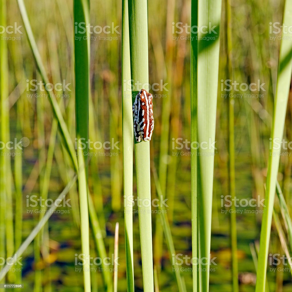 Close-up of a painted reed frog, Okavango Delta,Botswana stock photo