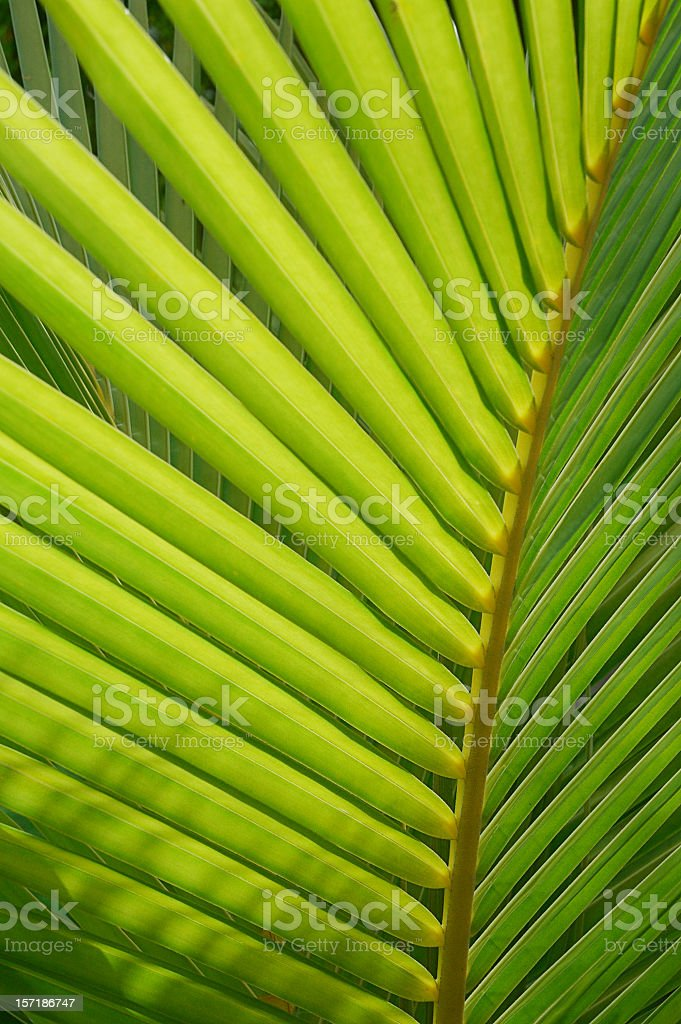 Closeup of a Palm leaf royalty-free stock photo