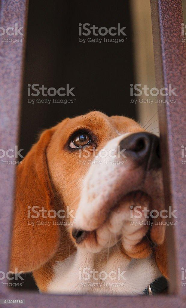 Close-up of a pet beagle puppy foto de stock libre de derechos