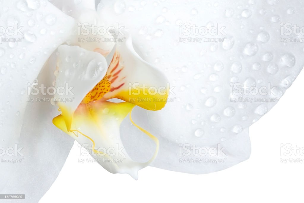 Closeup of a phalaenopsis orchid isolated on white stock photo