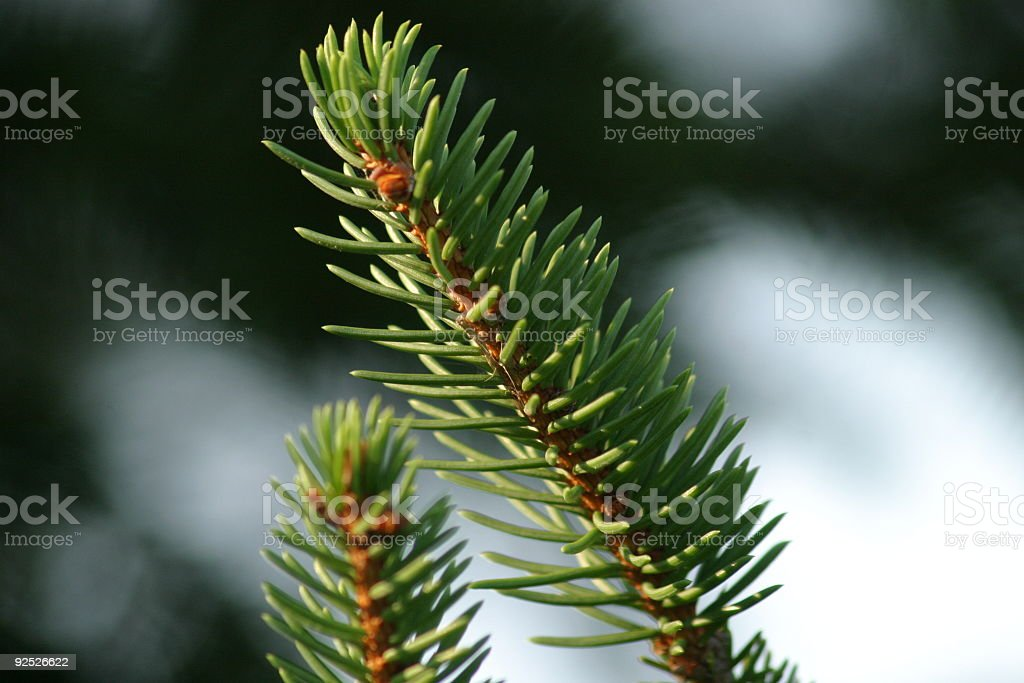 Closeup of a Pine Branch royalty-free stock photo