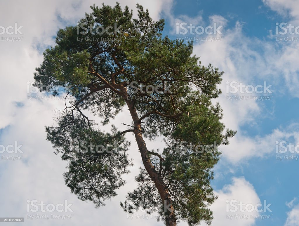 Closeup of a pine in sunlight stock photo