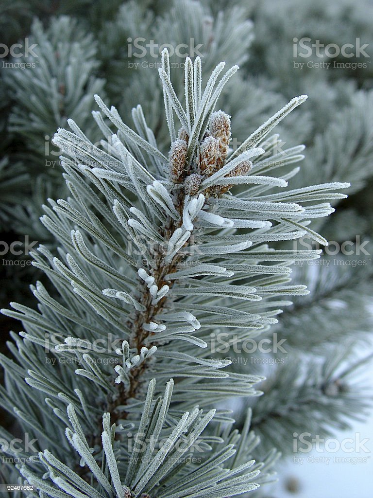 Close-up of a pine tree branch covered with frost royalty-free stock photo
