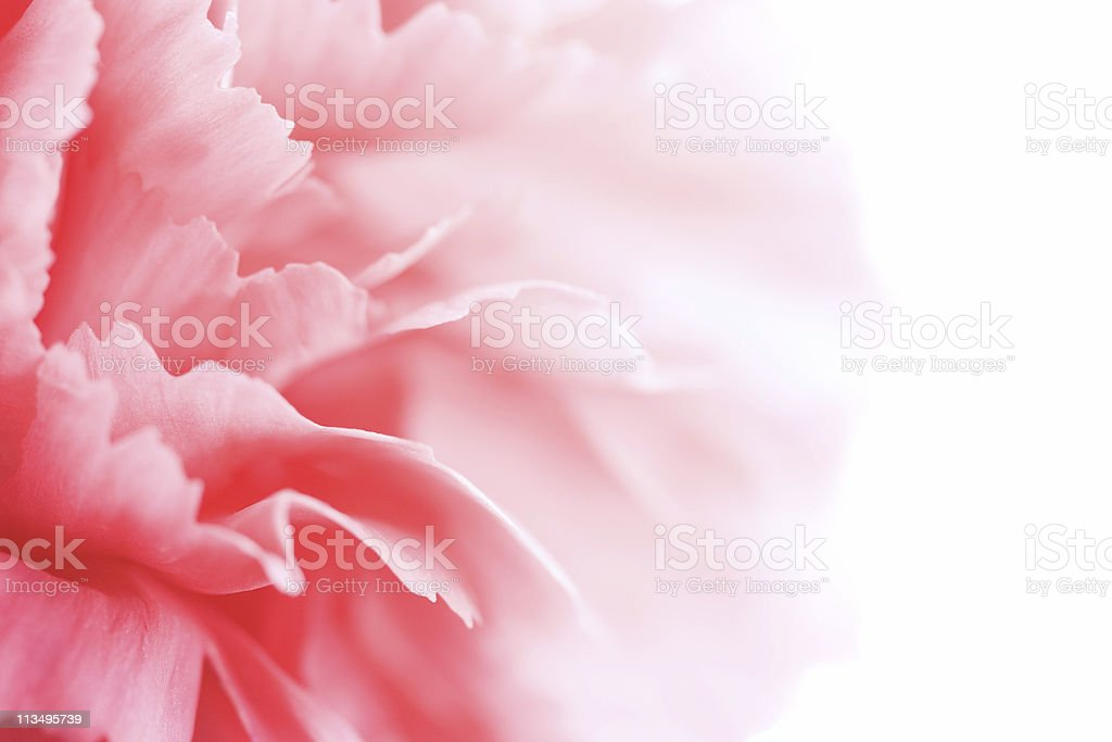 A close-up of a pink carnation blurring into white stock photo