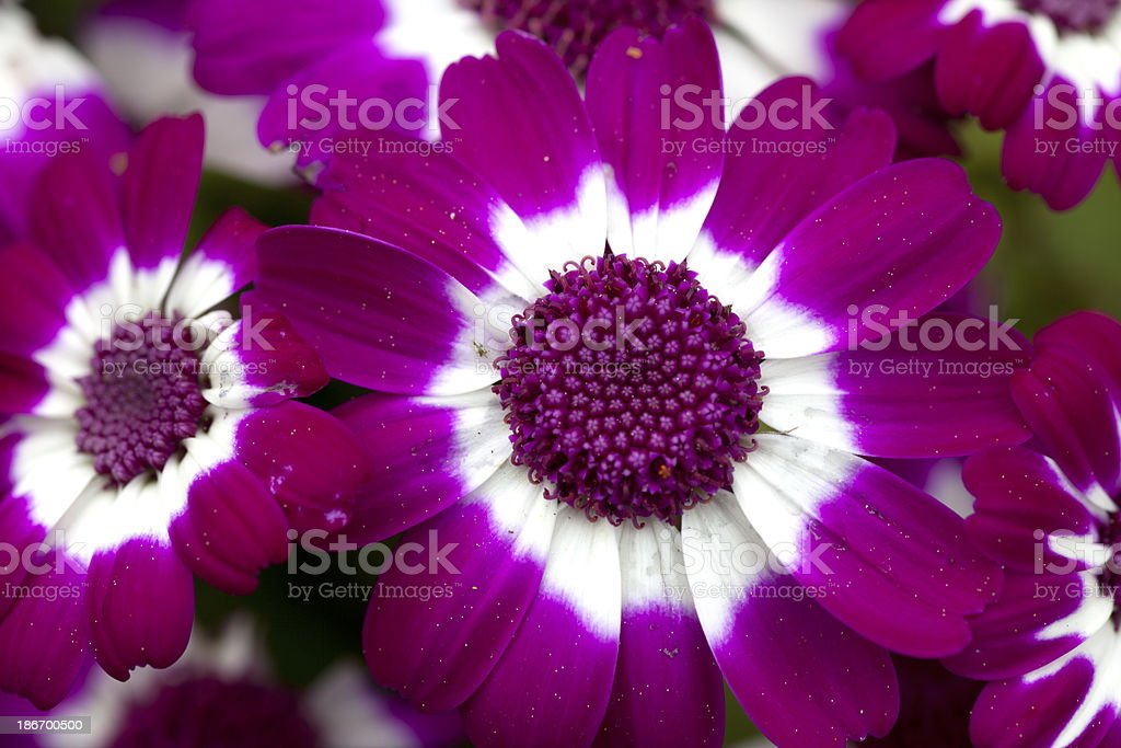 closeup of a pink flower royalty-free stock photo