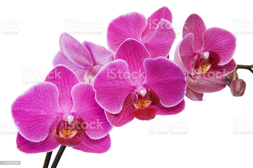 A closeup of a pink orchid stem on a white background royalty-free stock photo