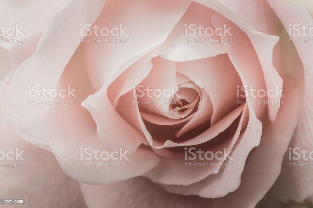 Closeup of a pink rose stock photo